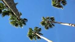 Palm Trees in Tempe, Arizona