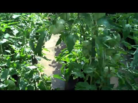 nctomatoman Indeterminate Tomato update June 29, 2011