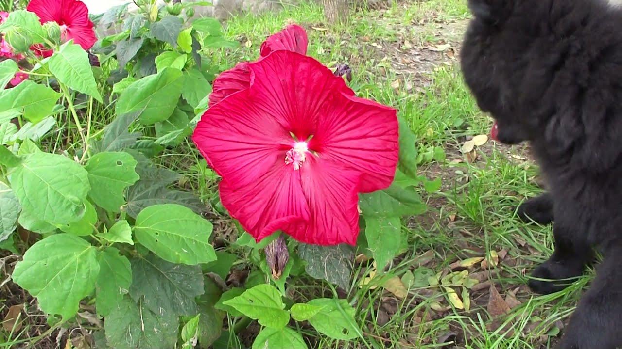 Hibiscos rosa china pastorcito belga youtube - Rosas chinas ...
