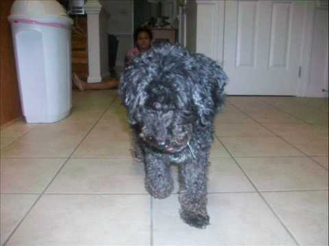 black maltese poodle my 2 dogs black poodle white maltese cute youtube 6581