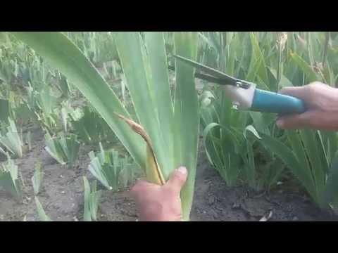 Ирис (Ирис бородатый) Как правильно обрезать листья ирисов бородатых