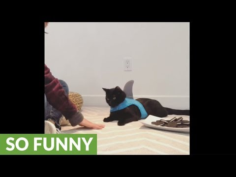 Cat defends plate full of Oreo's from human