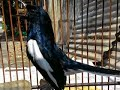 Vidio Burung Kacer Ngekek Ngeplong Yg Mengerikan  Mp3 - Mp4 Download