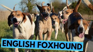 English Foxhound  TOP 10 Interesting Facts
