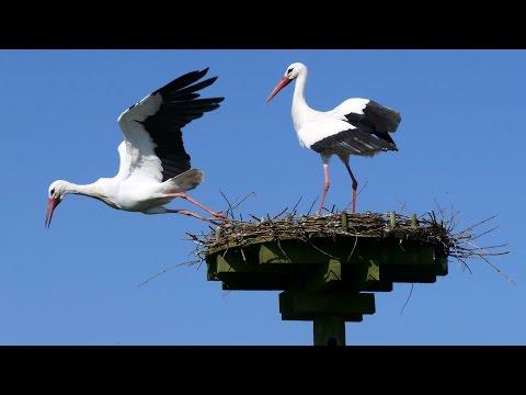 White Stork courtship.