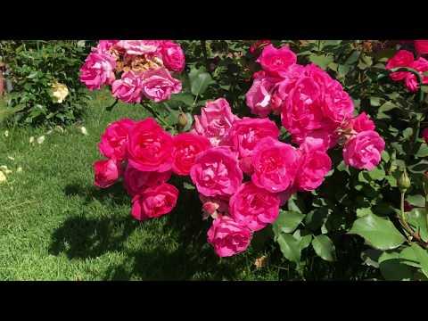 Розы в саду! Лучшие сорта роз, секрет успеха.