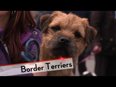 Border Terrier - Bests of Breed