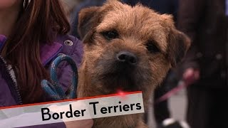 Border Terrier  Bests of Breed