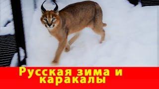 Русская зима и каракалы