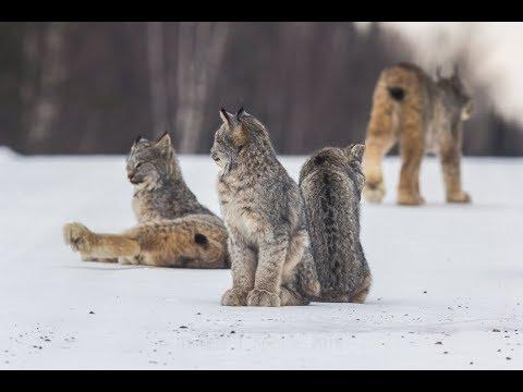 Cat family - Kootenay National Park |Lynx Cat Family