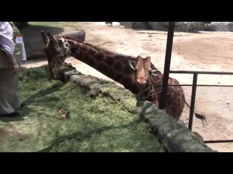 Eye to Eye with a Giraffe     Mexico City Zoo , Chapultepec