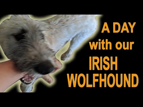 A day with Duke and Dixie, our Irish Wolfhound puppies.