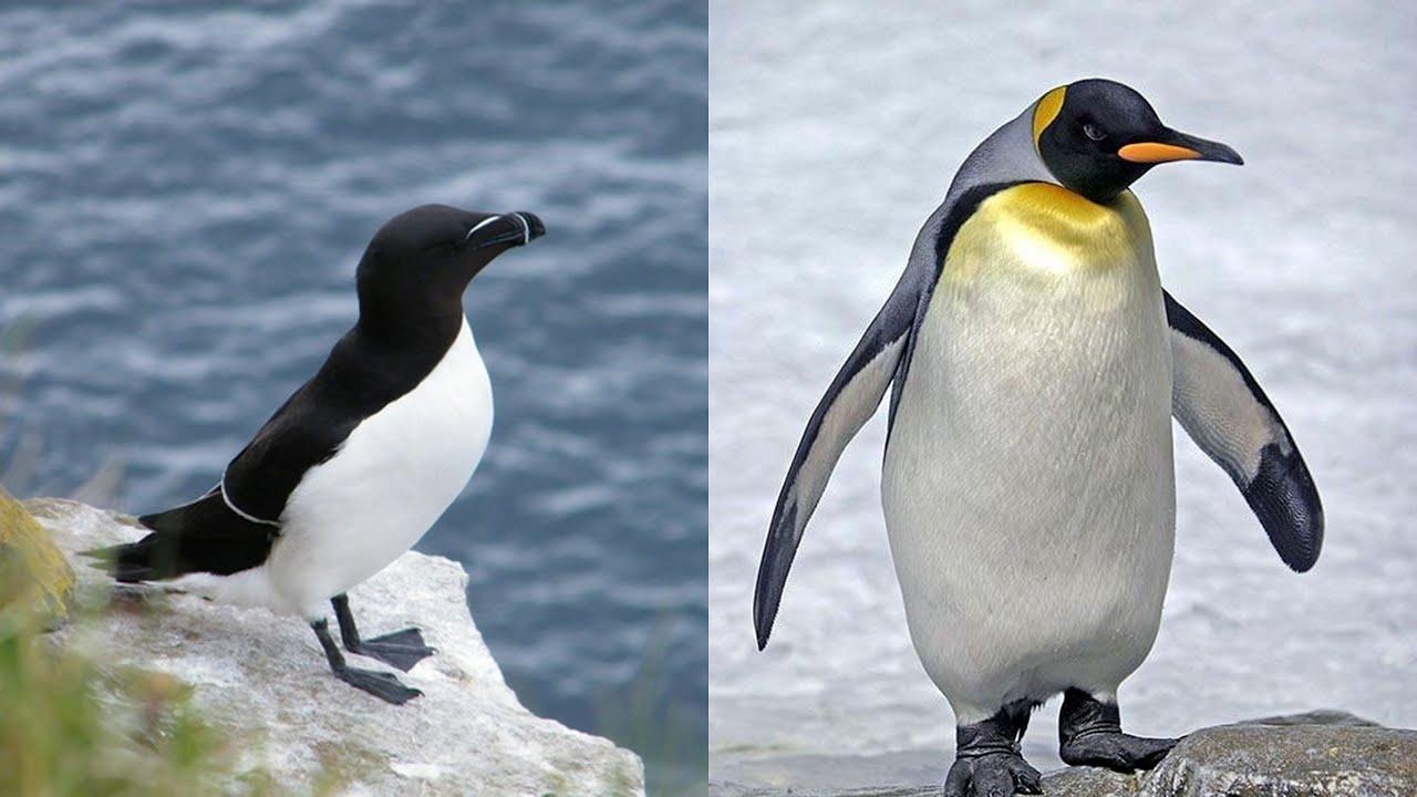 pingouin ou manchot quelle est la diff rence youtube. Black Bedroom Furniture Sets. Home Design Ideas