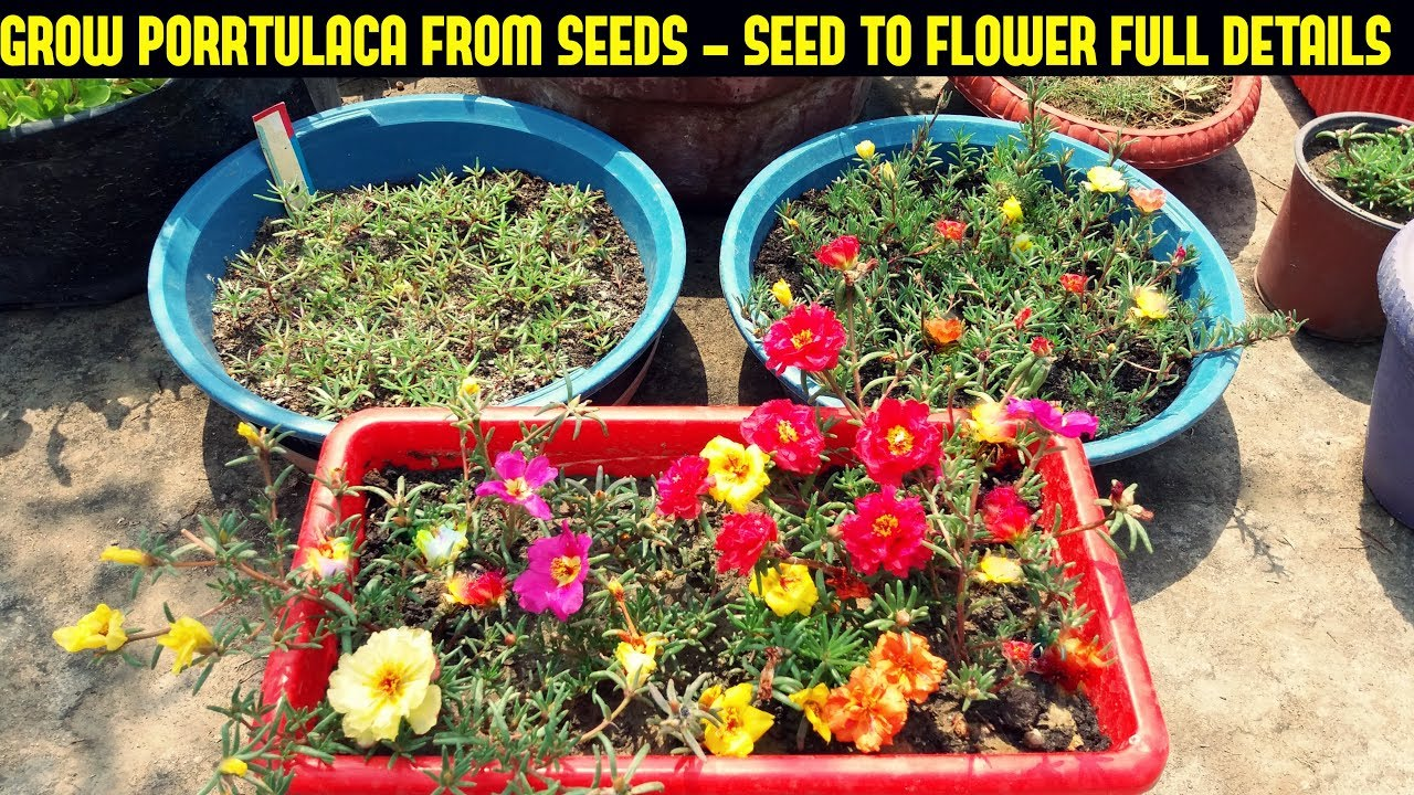 How To Grow Portulaca Or Moss Rose From Seeds Full Information