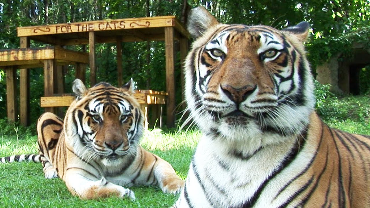 Images Of Shere Khan At Big Cat Rescue