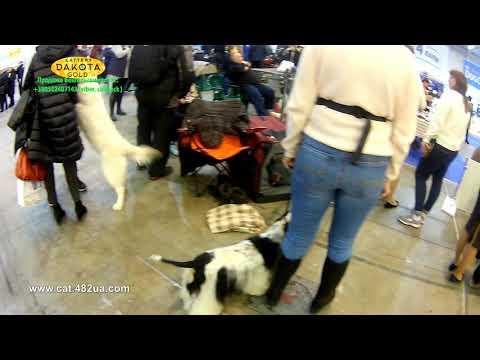 Грандиозная выставка собак, Киев, КСУ, декабрь 2018, часть 1