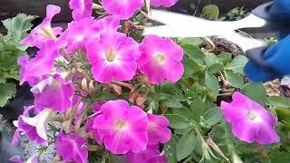 Обрезка вегетативной петунии в июле и зачем это нужно сделать!!!!