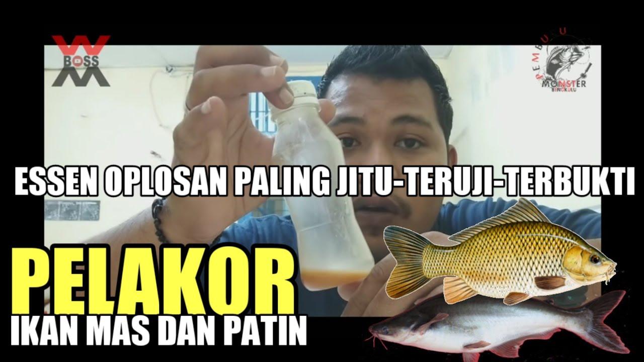Oplosan Essen Ikan Mas Musim Hujan Essen Pelakor Youtube