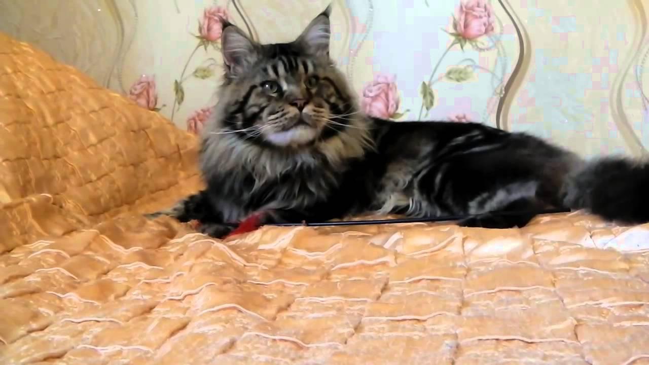 Котята мейн кун. Что бы купить котенка мейн кун в москве, в питомнике cybercoon. Ru, вам нужно совершить выбор котенка на сайте и связаться с нами по телефону, почте или оставив заявку на сайте. Таким образом вы зарезервируете за собой котенка. Продажа мейн кунов осуществляется только.
