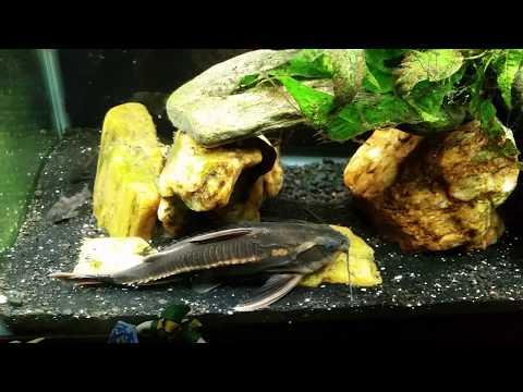 Striped Raphael Catfish In My 55 Gallon Gourami Tank