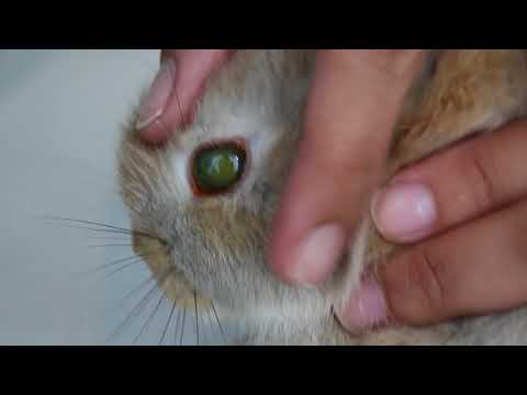 A Young Rabbit Has A White Eye. Why?  Fluorescein Eye Stain Test