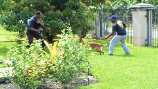 Florida Dog Training Attack ,belgian Malinois K9 Enforcement Training