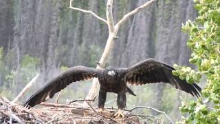Baby bald eagle learning to fly with the help of the wind