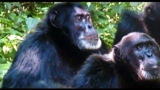 【衝撃映像!閲覧注意】 縄張り争いで勝利したチンパンジーが敗者を捕ら...