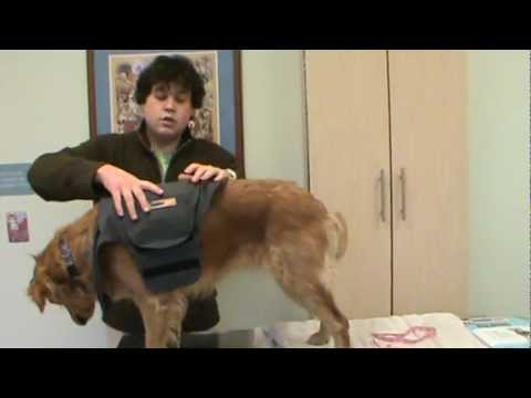 How to Put on a Thundershirt