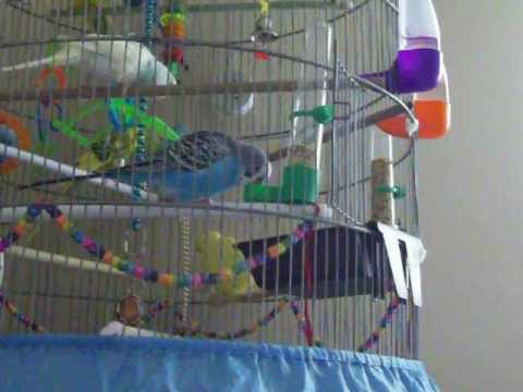 My Budgies New Bath Tub How Budgies React To Putting A