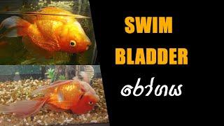 What Cause Swim Bladder Disorder ? (Sinhala).... FishFix SriLanka