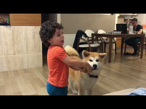 Akita (5MO) Playing with Child