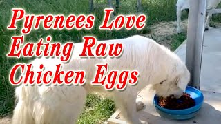 Feeding Raw Chicken Eggs to Dog | Great Pyrenees Love Eating Raw Chicken Eggs | 6 Eggs for Dog