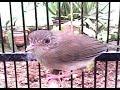 Sikatan Londo Untuk Masteran Burung Murai Batu Burung Kacer  Mp3 - Mp4 Download