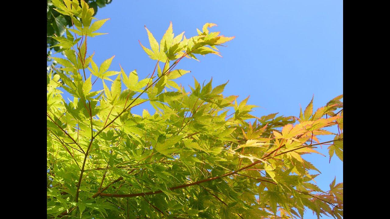 Acer palmatum sango kaku coral bark maple youtube mightylinksfo