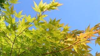 Acer palmatum 'Sango-kaku'  (Coral Bark Maple)