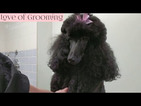 How to Pluck Poodles Ears