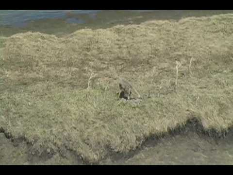 Yellowstone Coyote Raids a Goose Nest May 2009
