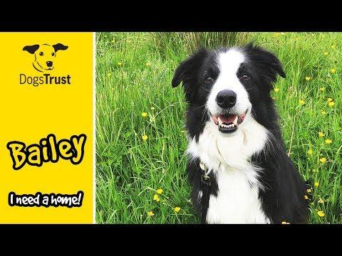 Bailey The Brainy Border Collie! | Dogs Trust West Calder