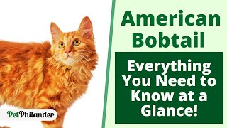 American Bobtail : Everything You Need to Know at a Glance ! Pet Lovers