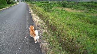 柴犬小春 様々な声の聴こえる散歩は地味に楽しい