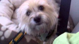 "Col. Potter Cairn Terrier Rescue Dog Tinktheterrier ""i'm An Excellent Driver"".3gp"