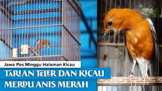 """Download Kicau Jawa Pos Minggu """"Tarian teler dan Kicau Merdu Anis Merah"""""""
