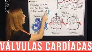 Arterias y venas válvulas cardíacas