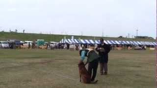 2012 JKC 秋季訓練訓練競技大会 チェサピークベイレトリーバー リズのCD...