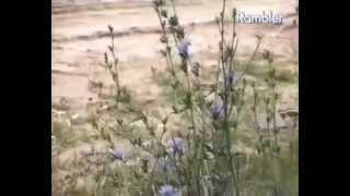видео Цикорий обыкновенный – его описание и фото