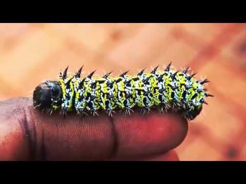Mopane Worms (madora) Zimbabwe