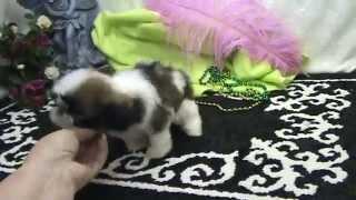 Imperial Shih Tzu puppy for sale, Female AKC reg. 1,000.00