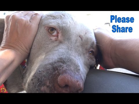 This Pit Bull rescue is different than any other rescue you have seen so far!  Please share.