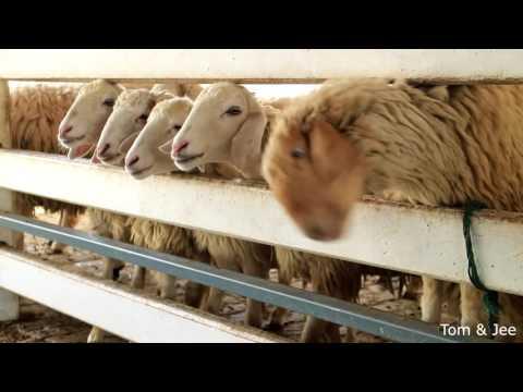 Swiss Sheep Farm Pattaya ฟาร์มแกะชลบุรี @เขาชีจรรย์